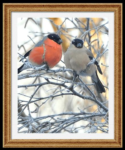 Яркая и расписная окраска снегирей бывает только у самцов, а самочки выглядят гораздо скромнее